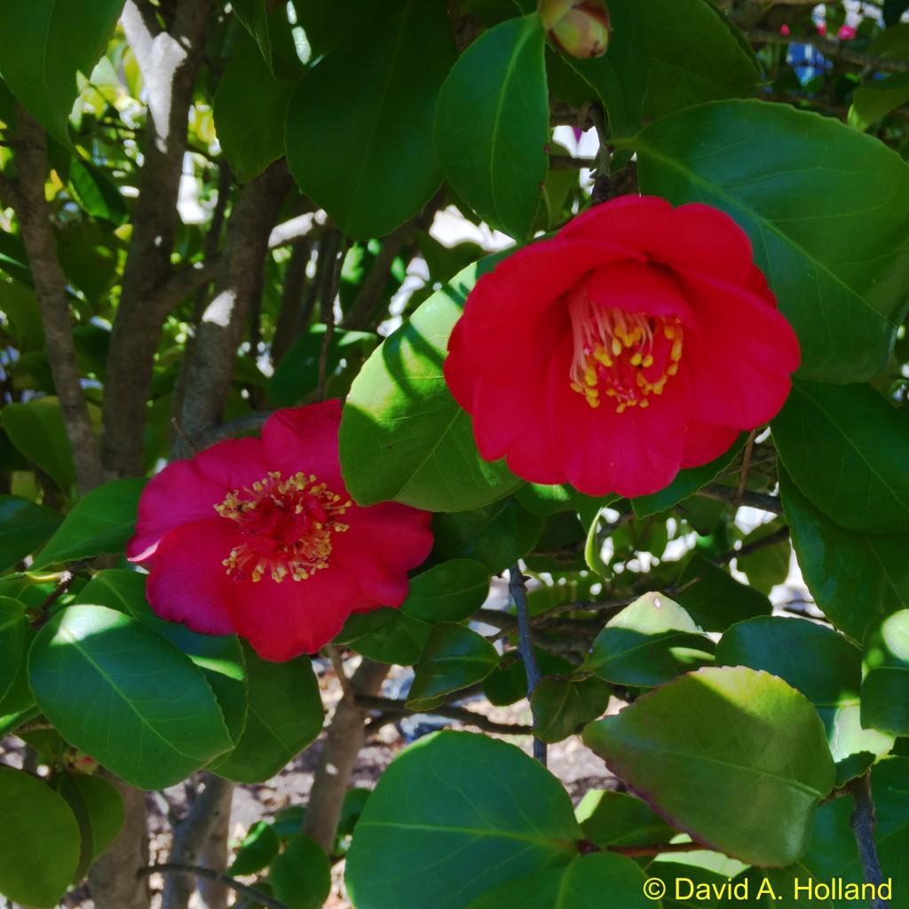Holland Camellia